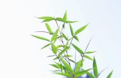 Folhas verdes do bambu no fundo branco Imagens de Stock Royalty Free