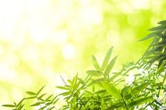 Folhas verdes do bambu ou com fundo Energia verde Fotos de Stock
