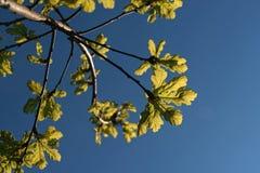 Folhas verdes do carvalho fotografia de stock