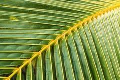 Folhas verdes do coco Foto de Stock