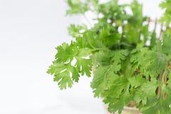 Folhas verdes do coentro na cesta Imagem de Stock