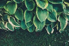 Folhas verdes do hosta Fotografia de Stock Royalty Free