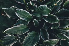 Folhas verdes do hosta Foto de Stock Royalty Free