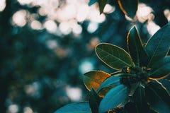 Folhas verdes do lucidum do ligustrum foto de stock
