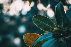 Folhas verdes do lucidum do ligustrum foto de stock royalty free