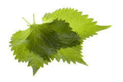 Folhas verdes do Perilla isoladas Fotos de Stock Royalty Free