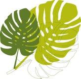 Folhas verdes do philodendron Fotografia de Stock