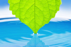 Folhas verdes do succulent para a água. Fotografia de Stock