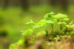 Folhas verdes do trevo Imagens de Stock Royalty Free