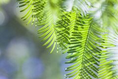 Folhas verdes do verde da mola do metasequoia foto de stock