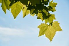 Folhas verdes dos bordos no fundo do céu azul fotografia de stock