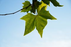 Folhas verdes dos bordos no fundo do c?u azul fotos de stock royalty free