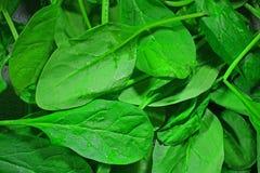 Folhas verdes dos espinafres com gotas da água imagem de stock