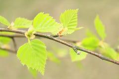 Folhas verdes dos jovens da mola Foto de Stock