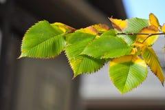 Folhas verdes e amarelas Fotografia de Stock Royalty Free