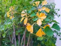 Folhas verdes e amarelas do foco macio como um fundo Foto de Stock