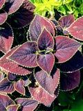 Folhas verdes e do roxo imagem de stock