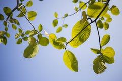 Folhas verdes e o céu azul Imagem de Stock Royalty Free