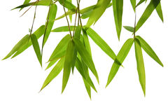 Folhas verdes e ramos do bambu isolados no fundo branco que corta Fotografia de Stock