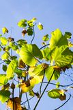 Folhas verdes em um fundo do céu iluminado pelo sol, Califórnia foto de stock royalty free