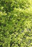 Folhas verdes ensolaradas da árvore na mola Fotos de Stock Royalty Free