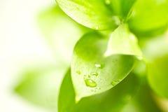 Folhas verdes frescas Imagens de Stock