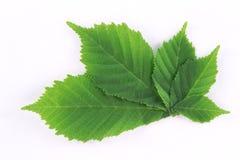 Folhas verdes frescas da mola Fotos de Stock