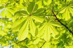 Folhas verdes frescas da mola em uma árvore Fotografia de Stock