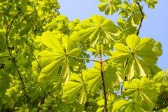 Folhas verdes frescas da mola em uma árvore Foto de Stock Royalty Free