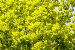 Folhas verdes frescas da mola em uma árvore Fotografia de Stock Royalty Free