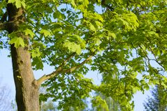 Folhas verdes frescas da mola em uma árvore Imagens de Stock
