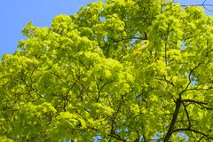 Folhas verdes frescas da mola em uma árvore Imagem de Stock Royalty Free