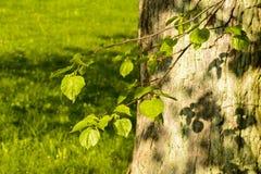 Folhas verdes frescas da mola em uma árvore Foto de Stock