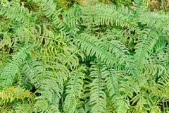 Folhas verdes frescas da samambaia Foto de Stock Royalty Free
