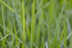Folhas verdes frescas do arroz de Sukoharjo imagem de stock