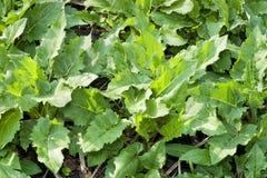 Folhas verdes frescas do burdock Fotografia de Stock