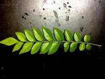 Folhas verdes frescas do caril no fundo preto fotografia de stock royalty free