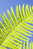 Folhas verdes frescas do fern Fotografia de Stock Royalty Free