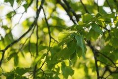 Folhas verdes frescas do Linden Fotografia de Stock Royalty Free