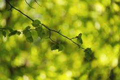 Folhas verdes frescas do Linden Foto de Stock