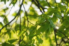 Folhas verdes frescas do Linden Imagens de Stock Royalty Free