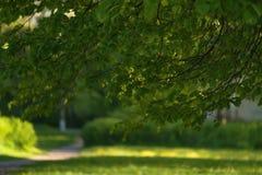 Folhas verdes frescas do Linden Fotografia de Stock