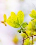 Folhas verdes frescas e novas Imagens de Stock