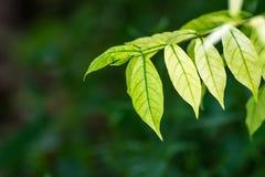 folhas verdes, fundo verde Fotografia de Stock