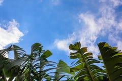 Folhas verdes grandes da banana da palmeira exótica na luz do sol no fundo do céu azul foto de stock