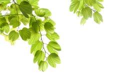 Folhas verdes isoladas Imagens de Stock Royalty Free