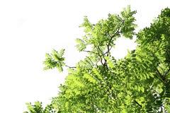 Folhas verdes isoladas com trajetos de grampeamento em um fundo branco fotos de stock