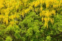 Folhas verdes na árvore grande no parque Imagens de Stock Royalty Free