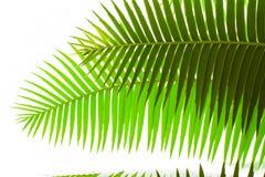 Folhas verdes no fundo branco Imagens de Stock Royalty Free