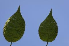 Folhas verdes no luminoso no azul Fotos de Stock Royalty Free